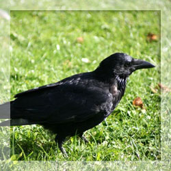 Crow repellents