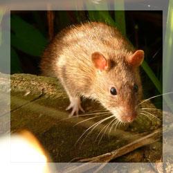 RepellAll - Rat repellents