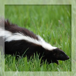Skunk repellents
